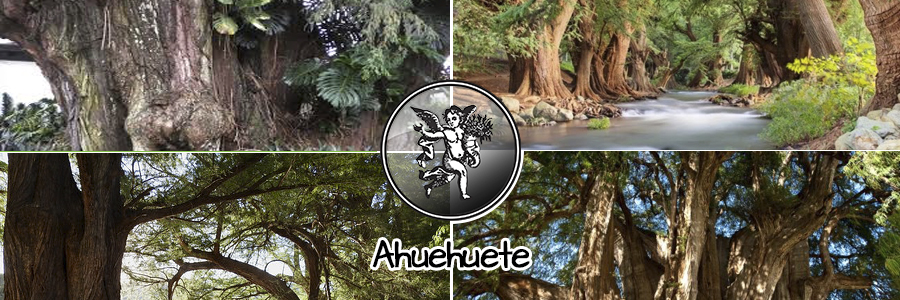 El ejemplar más magnífico de esta especie arbórea es el Ahuehuete de Santa María del Tule, apodado El gigante, o El árbol de Tule, que se lo puede ver en el cementerio de la iglesia de Santa María de Tule, en Oaxaca, México