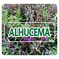 La alhucema, Lavandula latifolia, también conocida como lavanda, árnica de monte, barbay, espígol, madresalva, es una planta que crece en forma de arbustos alrededor del oeste de Europa.