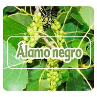 Alamo negro, plantas medicinales para gripe estacional, programa con Rodrigo Mondragón