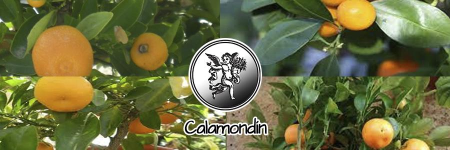 Combinado con pimienta, se prescribe en Malasia para expulsar la flema. La raíz entra en el tratamiento que se da en el parto. El destilado del aceite de las hojas sirve como carminativo con más potencia que el aceite de la menta.