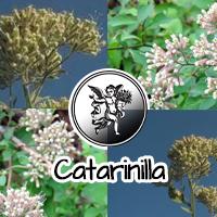 La catarinilla es una planta medicinal muy consumida en México para tratar la diabetes debido a su actividad hipoglucémica (baja el nivel de azúcar en la sangre).