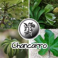 En el Salvador se usa para calmar los nervios y contra el dolor de estómago, la artritis y el reumatismo; para la tos, como expectorante, y para los riñones.