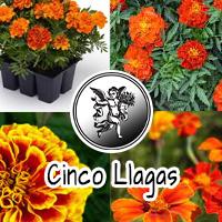 La planta Cincollagas (Tragetes patula) se le usa principalmente en el tratamiento de las diarreas, el dolor de estómago o cólicos, empacho o indigestión, vómito y bilis.