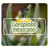 El ángel de tu salud, plantas medicinales, gordolobo mexicano para enfisema pulmonar, Rodrigo Mondragón