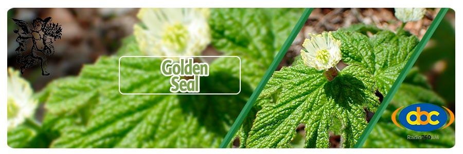 Golden seal, planta medicinales antivirus, Rodrigo Mondragón, El Ángel de tu Salud