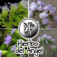 Hierba del ángel, rodrigo mondragón, plantas medicinales, programa de radio