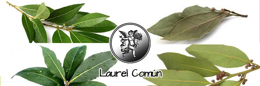 El laurel es benéfico para la salud del sistema nervioso. Se obtienen buenos resultados  cuando se utiliza para curar trastornos como la tensión nerviosa.