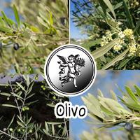 El empleo popular de infusiones con hojas de olivo está indicado en casos de hipertensión arterial.