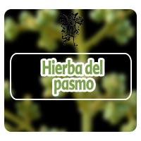 Hierba del pasmo, plantas medicinales, el ángel de tu salud, rodrigo mondragón, para que sirve la hierba del pasmo, parálisis en el estómago