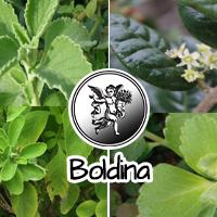 El boldo normalmente se asocia a otras plantas coleréticas y colagogas (alcachofa, romero, etc.), o laxantes