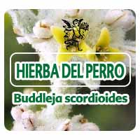 nvestigadores del Instituto de Química de la UNAM obtuvieron de la planta Buddleja scordioides, comúnmente conocida como escobillla o hierba del perro, que  contiene verbascósido, una sustancia que absorbe la radiación ultravioleta B y actúa contra bacterias como el cólera.
