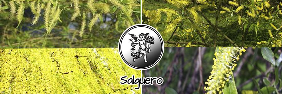 Es un árbol que crece hasta los 23 metros de altura. Sus hojas son de color grisáceo-verdoso. Es un árbol común en Europa y también se da en zonas del norte de África y el oeste de Asia. Sus flores tienen amentos (flores masculinas) que crecen en primavera. Sus propiedades medicinales han sido utilizadas durante siglos por diferentes culturas. Sus hierbas y corteza ha sido una de los más antiguos tratamientos usados para el dolor y la inflamación. Hipócrates en el siglo V a.C. escribió sobre las propiedades curativas del sauce blanco.