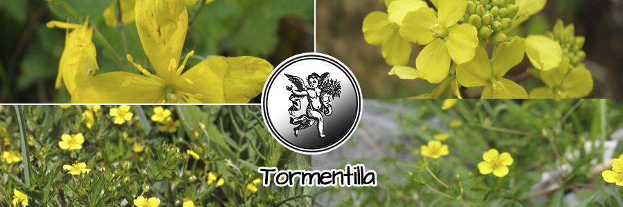 Los extractos de raíz de tormentilla son ricos en taninos que tienen una acción astringente.