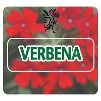 El ángel de tu salud, verbena, plantas medicinales para hipotiroidismo, herbolaria para hipotiroidismo, dolores de cabeza