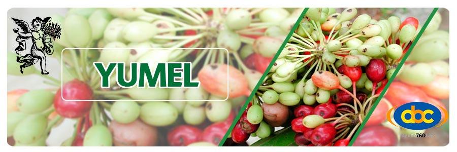 Yumel, el ángel de tu salud, herbolaria y plantas medicinales para obesidad. programa con rodrigo mondragón