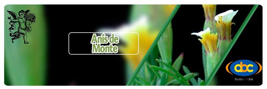 Anís de monte, plantas medicinales para bebes, rodrigo mondragón.
