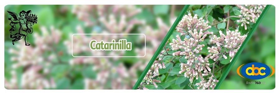 El ángel de tu salud, plantas medicinales, catarinilla, para que sirve la catarinilla, herbolaria, Salpianthus arenarius, planta spara diabetes,  herbolaria para diabetes