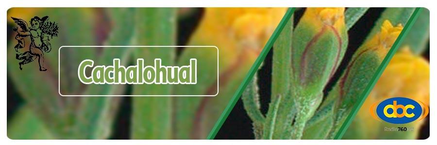 El ángel de tu salud, planta medicinal cachalohual para pleuritis, programa de radio con Rodrigo Mondragón