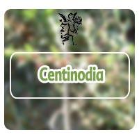 centonodia, planta medicinal, tema de radio con rodrigo mondragón