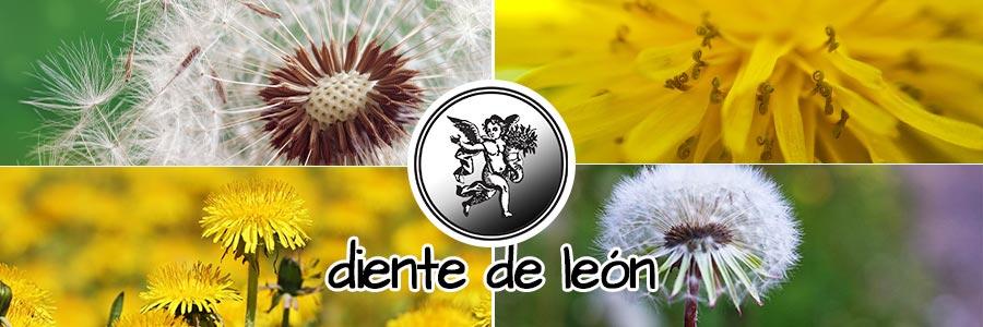 herbolaria, Diente de leon Programa de radio el ángel de tu salud