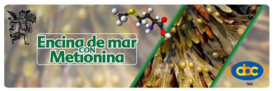 metionina con encina de mar, hipotiroidismo, el ángel de tu salud, rodrigo mondragón, plantas medicinales para hipotiroidismo,  el ángel de tu salud.