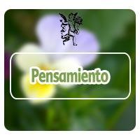 Planta medicinal pensamiento, programa de Rodrigo mondragón, el ángel de tu salud