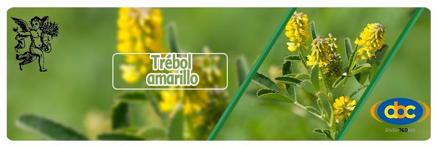 Planta trébol amarillo, Programa con Rodrigo Mondragón, El ángel de tu salud